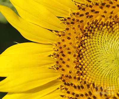 Photograph - Sunflower by Nancy Greenland