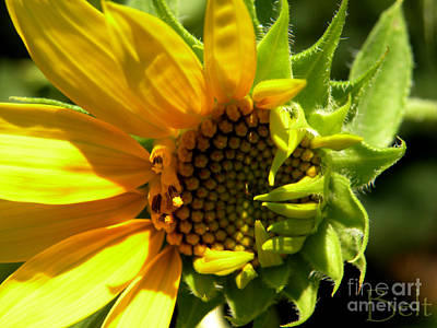Sunflower No. 2 Art Print by Christine Belt
