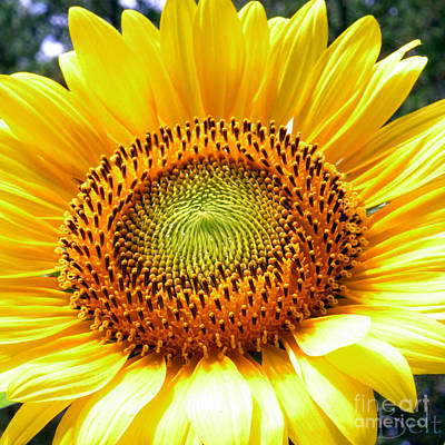 Snickerhaus Gallery Photograph - Sunflower No.26 by Christine Belt