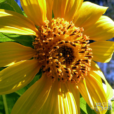 Snickerhaus Gallery Photograph - Sunflower No.36 by Christine Belt