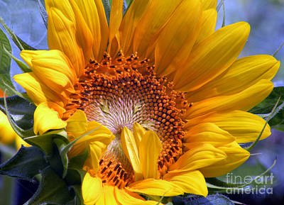 Snickerhaus Gallery Photograph - Sunflower No.37 by Christine Belt