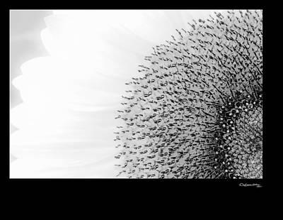 Photograph - Sunflower On White by Xoanxo Cespon