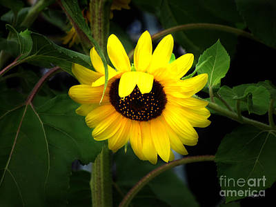 Photograph - Sunflower One by Ms Judi