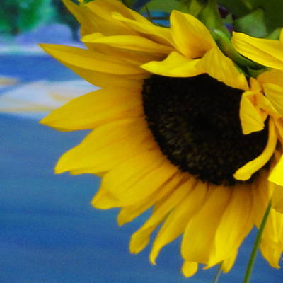 Photograph - Sunflower One by Shannon Grissom