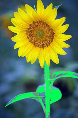 Studio Graphika Literature - Sunflower by Paul Wilford