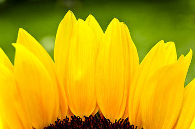 Photograph - Sunflower Petals by Joe Carini - Printscapes