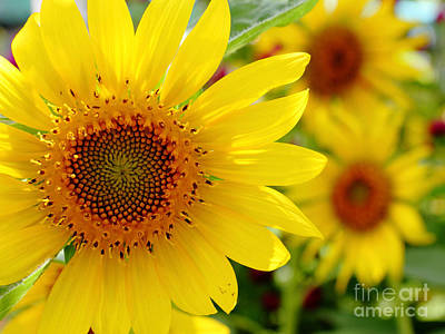 Sunflower Original