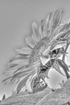 Sunflower Art Print by Rod Wiens