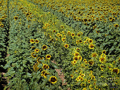 Photograph - Sunflower Rows by Methune Hively