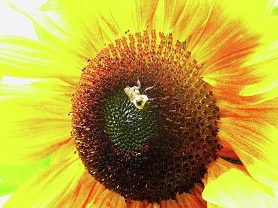 Photograph - Sunflower by Sandra  Rohmann