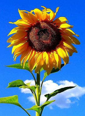 Photograph - Sunflower by Scott Brown