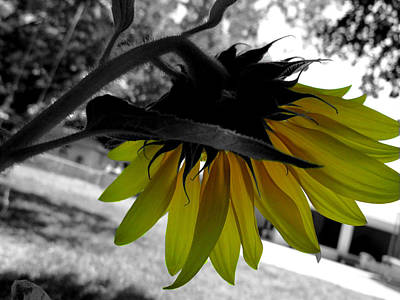 Photograph - Sunflower Selective Color by Judy Wanamaker