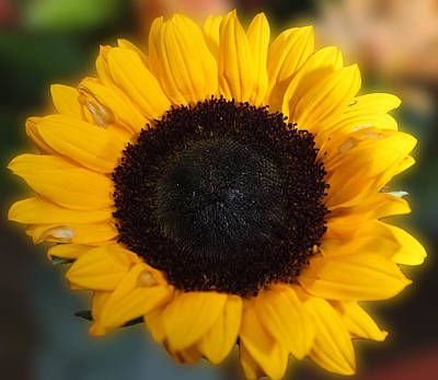 Photograph - Sunflower by Sheila Kay McIntyre