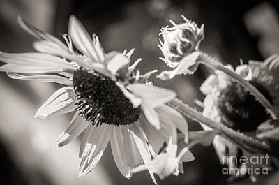 Photograph - Sunflower by Sherry Davis