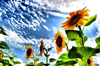Photograph - Sunflower Sky by Emily Stauring