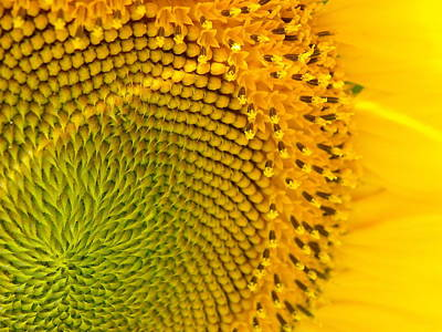 Sunflower Study 1 Art Print
