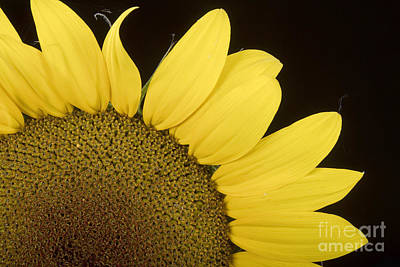 Flower Photograph - Sunflower Sunshine by James BO  Insogna