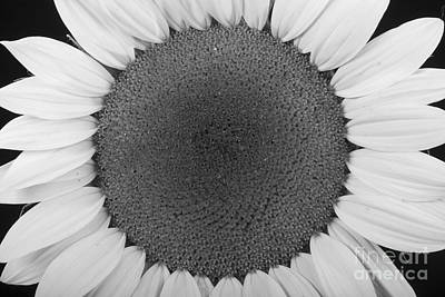 Photograph - Sunflower Trance by James BO Insogna