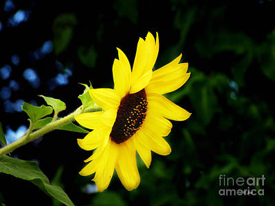 Photograph - Sunflower Two by Ms Judi