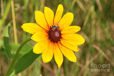 Photograph - Sunflower With Bee by Grace Grogan