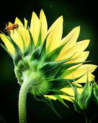 Sunflower With Bee Art Print by Lynne Jenkins