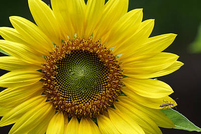 Art Print featuring the photograph Sunflower With Insect by Daniel Reed