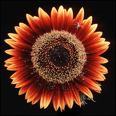 Photograph - Sunflower With Spider by Greg  West