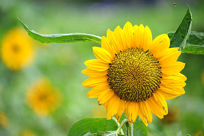 Photograph - Sunflower by Yew Kwang