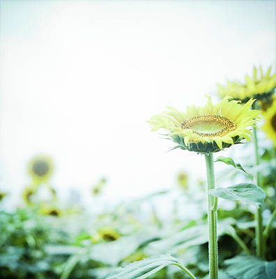 Yellow Sunflowers Photograph - Sunflower by Yoshika Sakai