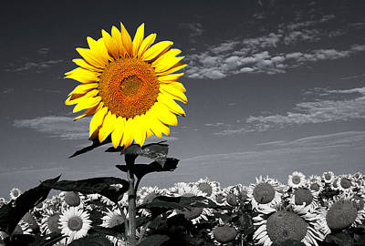 Floral Photograph - Sunflowers 1 by Sumit Mehndiratta
