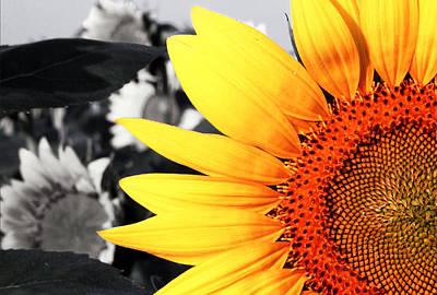 Acrylic Photograph - Sunflowers 2 by Sumit Mehndiratta