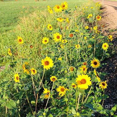 Photograph - Sunflowers Along Highway 260 by Pamela Walrath
