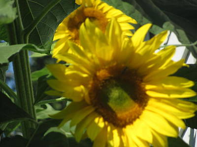 Sunflowers Art Print by Amy Bradley
