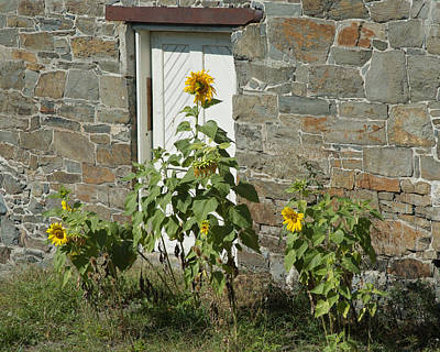 Photograph - Sunflowers And The Old Stone Wall by Barry Doherty