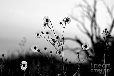 Photograph - Sunflowers At Sunrise Bw by Shawn Naranjo
