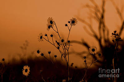 Photograph - Sunflowers At Sunrise Sepia by Shawn Naranjo