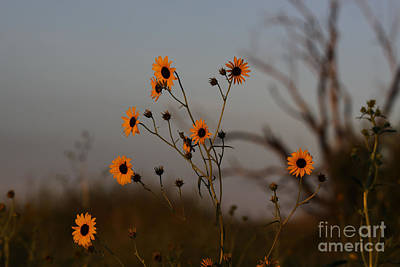 Photograph - Sunflowers At Sunrise by Shawn Naranjo