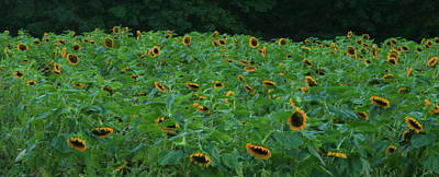Photograph - Sunflowers by Christopher Kirby