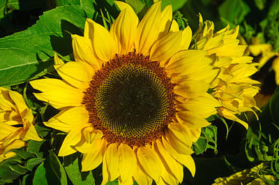 Photograph - Sunflowers by Connie Cooper-Edwards