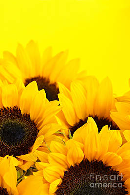 Still Life Royalty-Free and Rights-Managed Images - Sunflowers by Elena Elisseeva