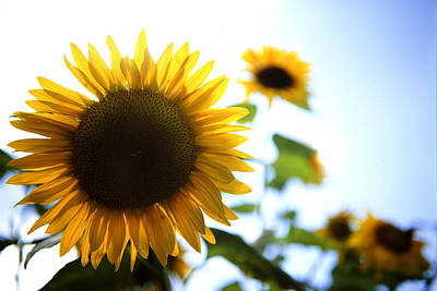 Floral Photograph - Sunflowers by Les Cunliffe