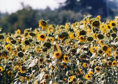 Art Print featuring the photograph Sunflowers by Maureen E Ritter