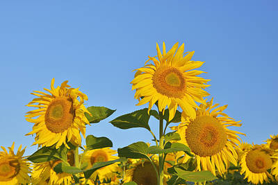 Y120817 Photograph - Sunflowers by Raimund Linke