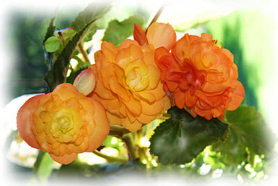 Sunkissed Begonia Trio Art Print