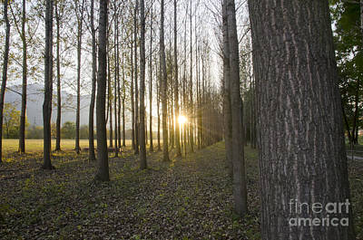 Sunlight In The Forest Art Print by Mats Silvan