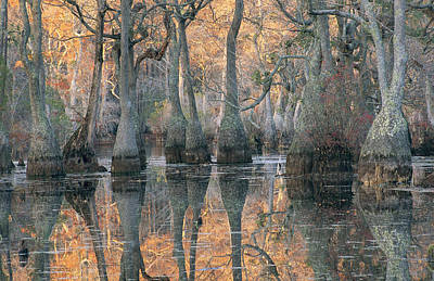 Sunlight Through A Cypress Swamp Art Print by Medford Taylor
