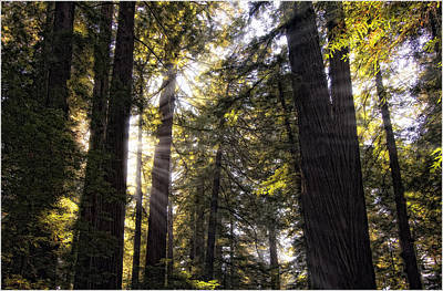 Photograph - Sunlight Through Redwoods by Gary Rose