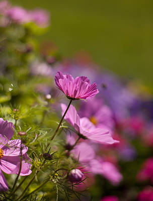 Abstract Flowers Royalty-Free and Rights-Managed Images - Sunlit Cosmos by Mike Reid