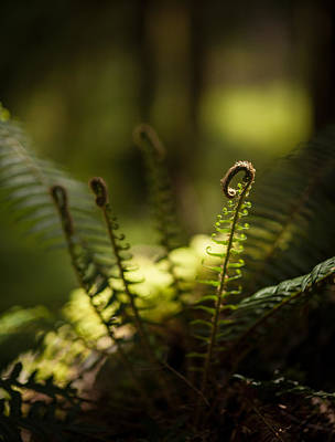 Olympic National Park Photograph - Sunlit Fiddleheads by Mike Reid