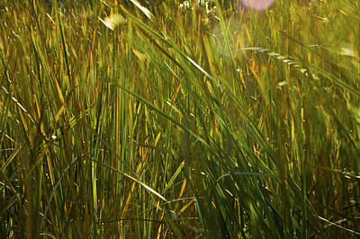 Photograph - Sunlit Grasses by Rich Franco